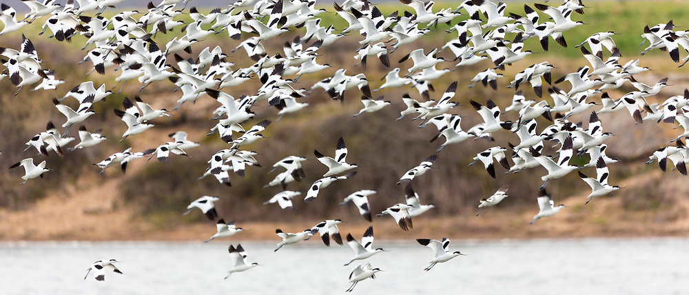Large flock of Avocets, Recurvirostra, wading birds in flight over lagoon, marshes and wetlands in North Norfolk, UK