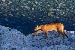 A female puma (Puma con color) also known as a mountain lion or cougar, walking in the sun on a stromolite rock along a clear blue lake, Torres del Paine, Chile, South America
