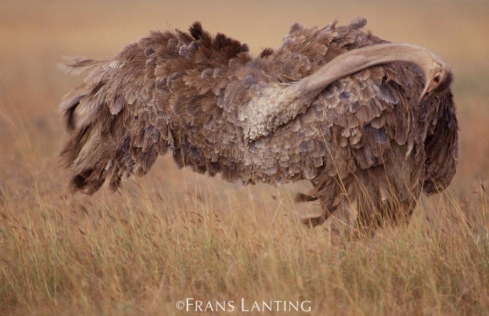 Female ostrich grooming, Struthio camelus, Kenya