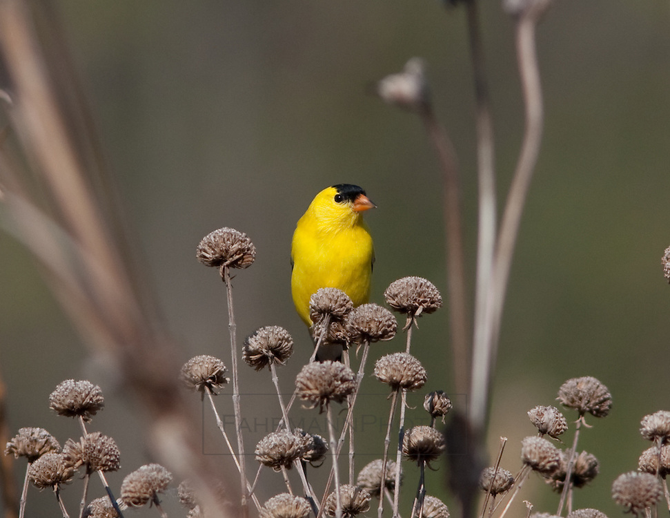 An American Goldfinch sits atop a dried flower cone picking seeds out of other cones