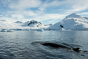 A minke whale surfacing in Paradise Bay, Antarctic Peninsula. Photographed from a Zodiac.
