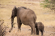 A mother and baby elephant (Loxondonta africana) in Tarangire National Park, Manyara Region, Tanzania, Africa