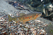 Westslope Cutthroat<br />