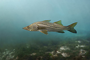 Common Snook, Underwater