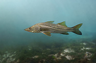 Common Snook<br /> <br /> Isaac Szabo/Engbretson Underwater Photography