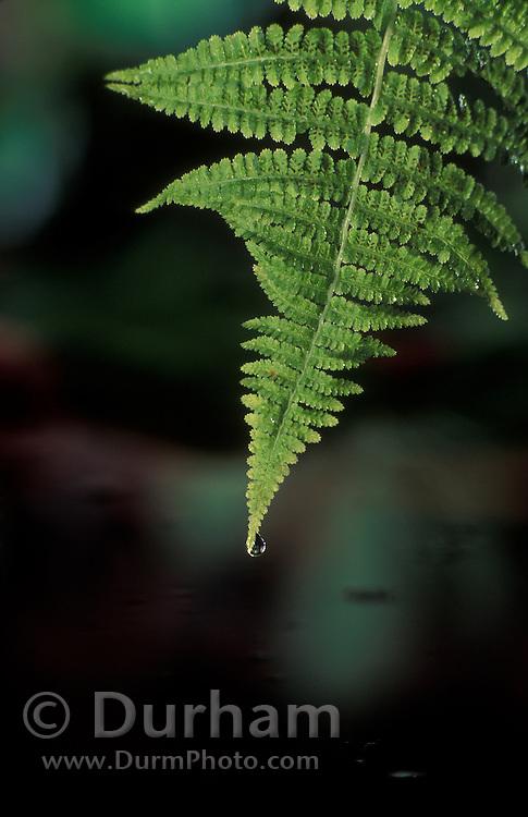 Water drops on a fern frond, Forest Park, Portland Oregon.
