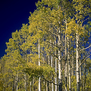Aspens in fall color in Dixie National Forest, Utah
