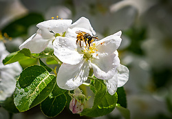 THEMENBILD - eine Biene nimmt Nektar an den Blüten eines Apfelbaumes auf, aufgenommen am 30. April 2018 in Kaprun, Österreich // a bee takes nectar on the Blossoms of an apple tree, Kaprun, Austria on 2018/04/30. EXPA Pictures © 2018, PhotoCredit: EXPA/ JFK
