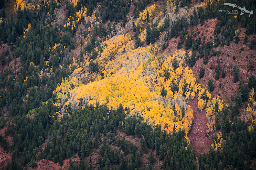 View of bright yellow aspen trees surrounded by pine trees, Aspen Mountain, Aspen, Colorado.