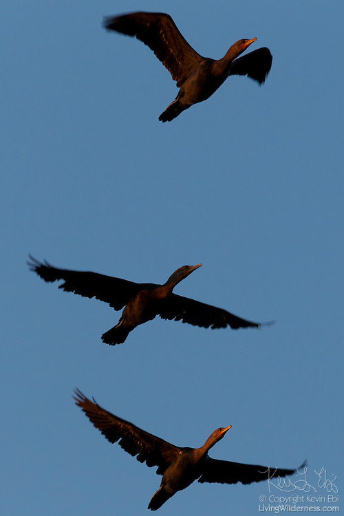 Three double-crested cormorants (Phalacrocorax auritus) fly together over the Snohomish River in Kenmore, Washington. Most types of cormorants are found only along the coast; the double-crested cormorant is typically the only one found very far inland.