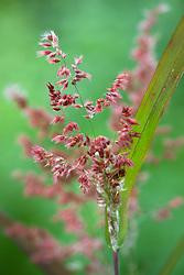 Tricholaena rosea