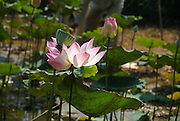 Close up of a blossoming pink Sacred Lotus flower (Nelumbo nucifera) Photographed Kandal Province, Cambodia