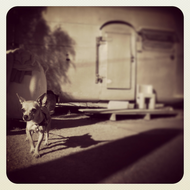 chihuahua standing outside trailer in San Diego, CA