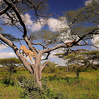 Lioness descending down a tree after afternoon nap, Ndutu, Tanzania