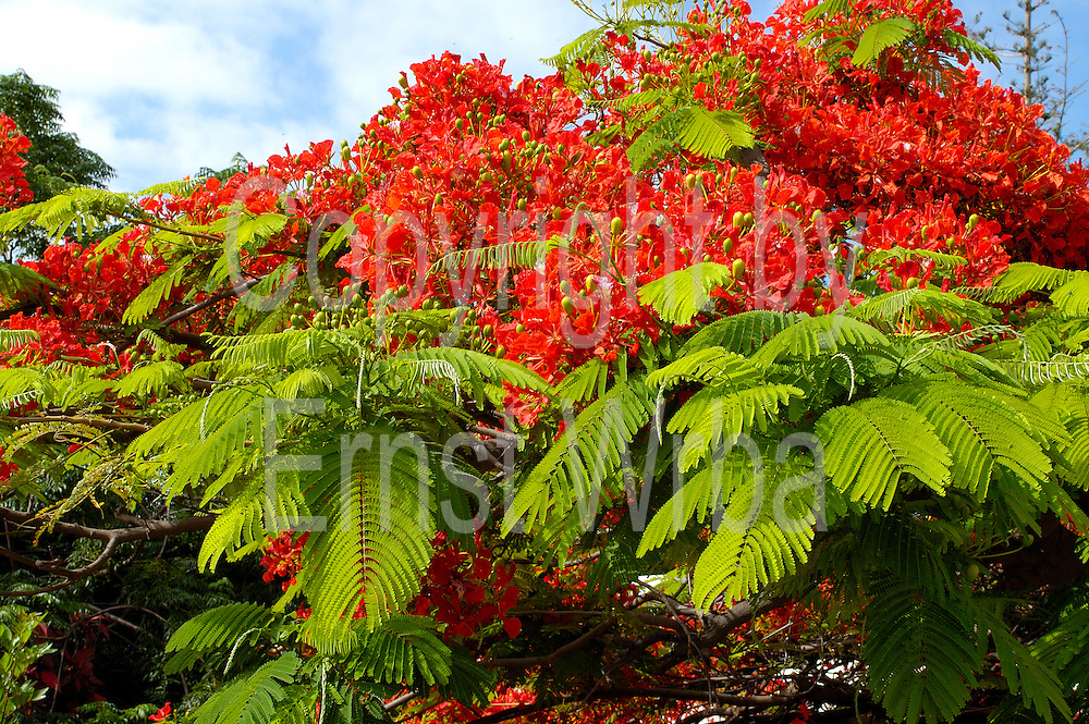 Spanien, Kanarische Inseln, Teneriffa..rot blühender Baum..|..Spain, Canary Islands, Tenerife..red flowering tree