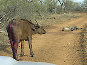 Nov 04, 2015 - South Africa - Four hyenas that brutally killed a juvenile buffalo at Kruger National Park in South Africa have been caught on camera. The footage shows how the predators slowly wear down the buffalo over a three-hour period.<br />