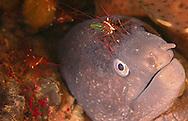 Alberto Carrera, Narural Colors Exhibition, Moray eel, Muraenidae, Muraena helena, Mediterranean Sea, Spain, Europe