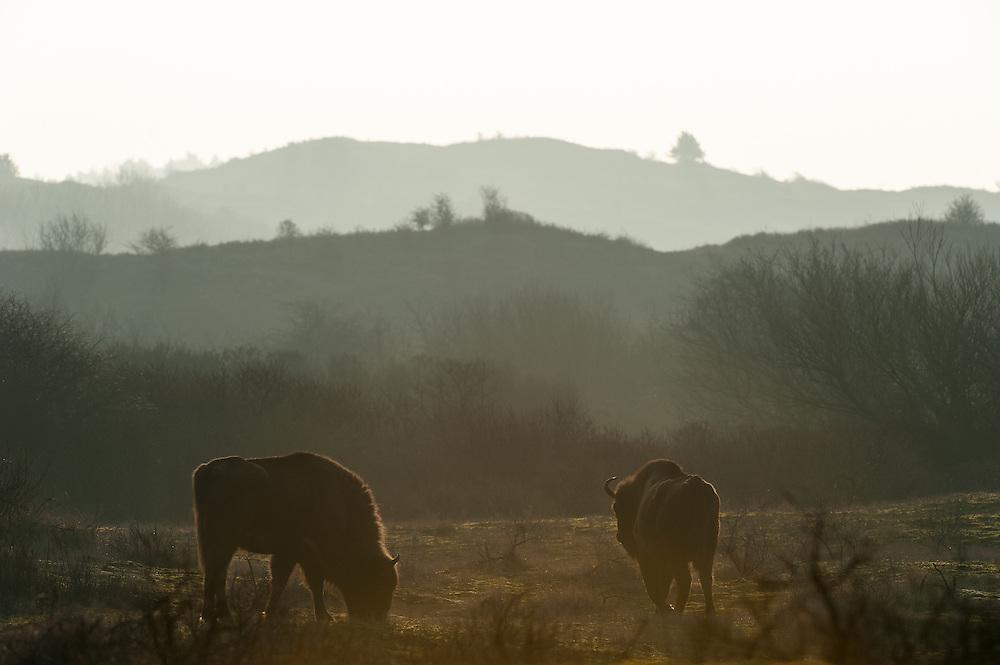 Two European Bisons (Bison bonasus) walking in backlit dune landscape