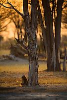 A lone Chacma Baboon, Papio ursinus, resting in the Momane woodland as the sun rises. Okovango, Botswana.