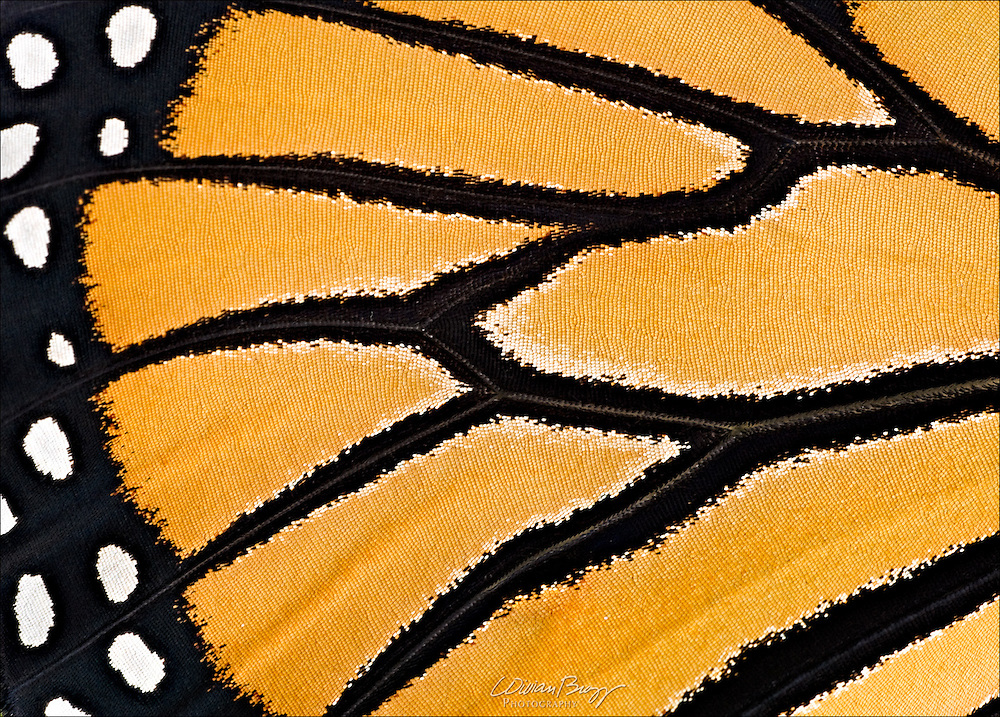 A macro of a Monarch Butterfly's wing.