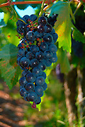 A cluster of red ripe Grapes on a vine