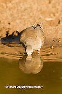 01081-01209 Mourning Dove (Zenaida macroura) drinking at water Starr Co., TX