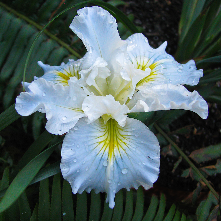 This is a hybrid Pacifica Iris. These natives produce small blossoms in late spring and early summer