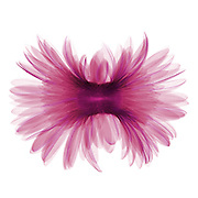 False color X-ray of a Gerber daisy (Gerbera sp).