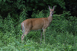 White-Tail Deer (Odocoileus virginianus) in tall grass near the edge of the woodland has large flies and possibly ticks on its hide.