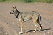 Gray wolf in habitat A young radio-collared male wolf walks on a northern Wisconsin gravel road.