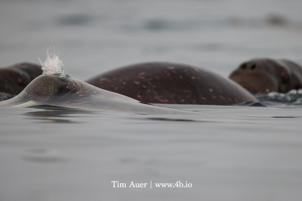 Elastic Snort<br /> Arctic Ocean, off shore from Kvit&oslash;ya Island in the Svalbard archipelago<br /> A surfacing walrus snorts air to evacuate water from its nasal passage. <br /> Kvit&oslash;ya, a small island in Svalbard archipelago north eastern corner, is almost fully covered by an ice cap.  In fact, with the exception of two small beaches, an ice cap with average depth of 200m, covers 99% of the island. On the day I was there, one of those beaches had a polar bear, and the other had hundreds of walrus. We explored both beaches from zodiac, but it was the experience at the beach with the walrus that was profoundly moving. <br /> <br /> Manning the zodiacs at midnight, the sun, at 2 degrees altitude, was flirting with dipping beneath the horizon for the first time of the season. The sea was smooth and silky.  The water was so still that ice crystals could be observed at the surface. As we approached the walrus, pockets of dense fog diffused the rich sunlight.  As we glided softly in our zodiac, some of the walrus came to meet us. There were hundreds of them, cycling between land and water, it was like a conveyor belt.  <br /> <br /> In this photo, a walrus surfaces but the water tension has yet to break, with the exception of the snort.