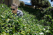 Jessica Dunn removes weeds from a planter box during the Earth Day clean up activities at Milpitas High School in Milpitas, California, on April 23, 2016. (Stan Olszewski/SOSKIphoto)