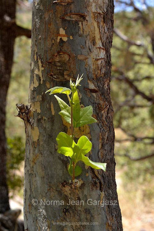 Sycamore trees grow along a stream in Gardner Canyon in the Santa Rita Mountains of the Coronado National Forest, north of Sonoita, Arizona, USA.