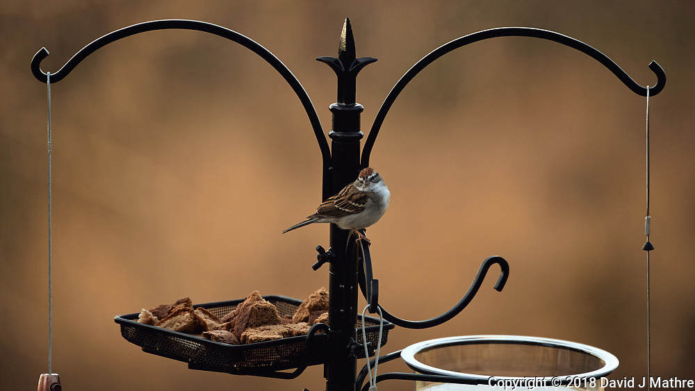 Chipping Sparrow. Image taken with a Nikon D5 camera and 80-400 mm VRII lens (ISO 320, 400 mm, f/5.6, 1/400 sec).
