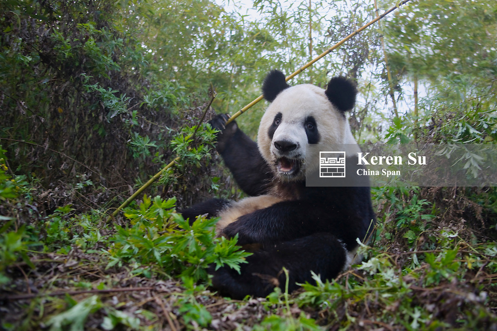 Giant Panda cub in the forest, Qinling, Shaanxi, China