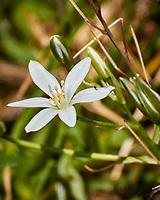 Bethlehem Star (grass lily)  Flower. Image taken with a Nikon N1V3 camera and 70-300 mm VR lens.