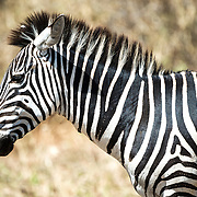 A side profile of a zebra at Tarangire National Park in northern Tanzania not far from Ngorongoro Crater and the Serengeti.