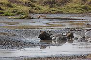 Male Cape buffalo in African Habitat