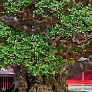 Banyan Bonsai Tree, Tainan Park Flower Exhibition 2010, Tainan City, Taiwan
