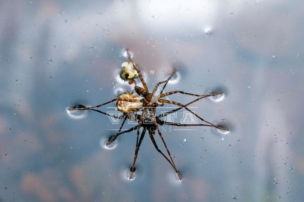 """aranha-pescadora (fishing spiders), """"Thaumasia sp."""" (Araneae: Pisauridae).Fazenda Ecologica, Area de Protecao Ambiental Serra do Lajeado, Palmas, Tocantins, Brasil, foto de Ze Paiva, Vista Imagens."""