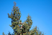 Man high in eucalyptus tree cutting branches with a chainsaw