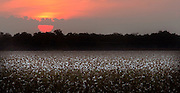Southern Cotton Field at sunset.