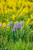 Rocky Mt. Iris [Iris missourinensis], Golden Banner [Thermopsis montana]; Torres, CO