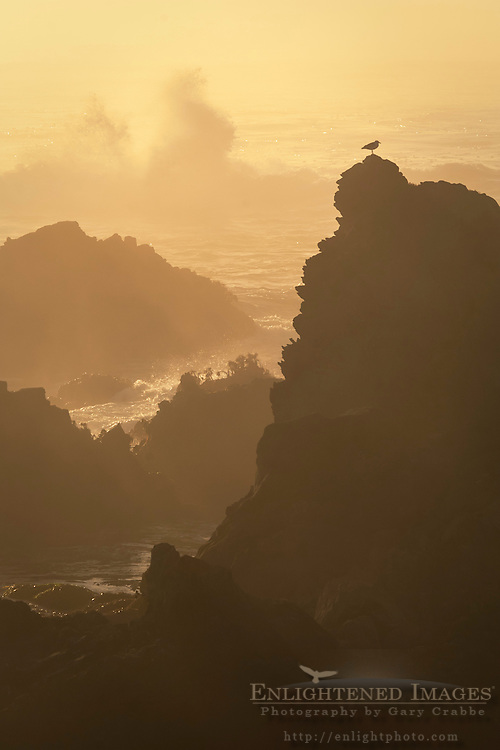 Bird on rock and crashing waves at sunset; Jug Handle State Natural Reserve; Mendocino County coast; California