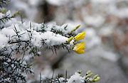 Snow Covered Gorse, Hampstead Heath, London