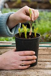 Taking cuttings from Dahlia 'Thomas Eddison' - putting round edge of pot