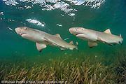 Lemon Shark Pup, Negaprion brevirostris, swims over sea grass in Florida Bay, Everglades National Park, Florida, United States.