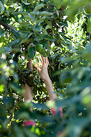 A woman reaches to pick an apple from a tree in an orchard in upstate New York.