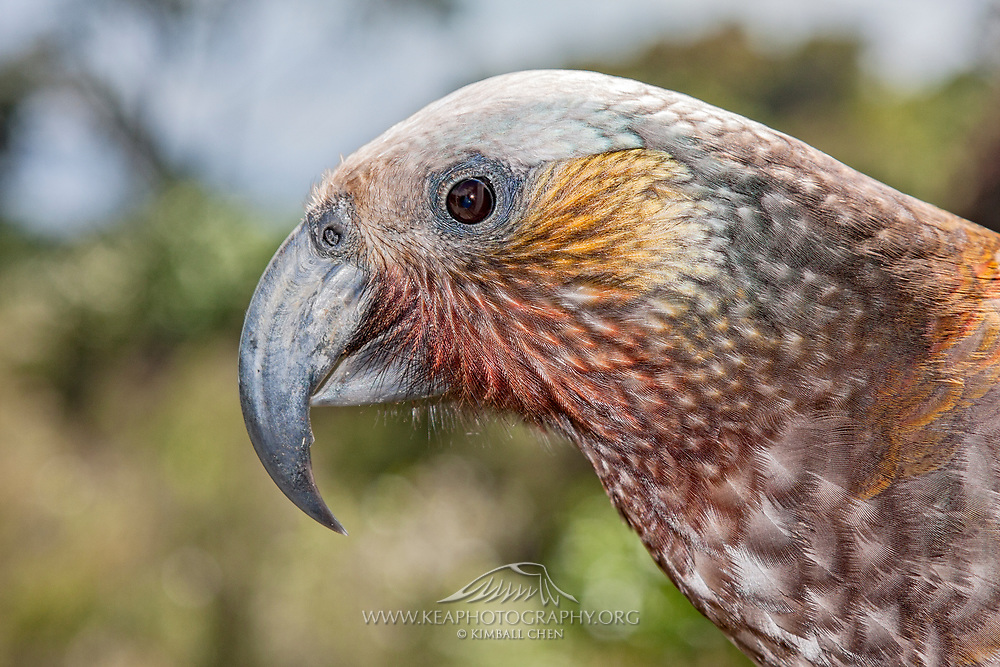 Side profile of the New Zealand kaka parrot, Stewart Island, showcasing the vibrant facial feathers