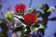 Lehua (ohia) blossom, Island of Hawaii<br />